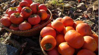山ほど柿があって余るなら、柿酢を作って健康になろう。簡単な柿酢の作り方