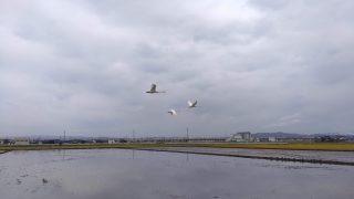 日差しを求めて走ったら白鳥の群れ!【トレ-ニング日記】