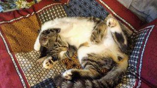 2匹目の猫を引き取りました。犬や猫を飼うなら生体展示販売よりも保護動物をチェックして