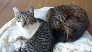 猫の誤飲に注意! ヘアゴムを食べていた猫の様子と病院での処置、手術費用